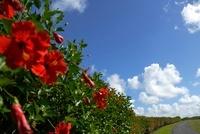 ハイビスカスの垣根と雲と小道