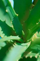 アロエの葉