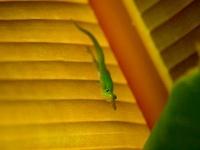 バナナの葉とヤモリ 00745000449| 写真素材・ストックフォト・画像・イラスト素材|アマナイメージズ