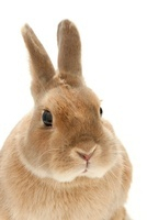 ウサギ白バック顔アップ