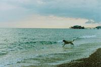 海と海岸を走るイヌ イギリス 00805000016| 写真素材・ストックフォト・画像・イラスト素材|アマナイメージズ