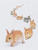 ウサギ(ネザーランド・ドワーフ)
