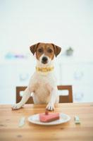 テーブルにつく犬(ジャックラッセルテリア)