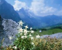 エーデルワイス     スイス