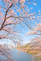 JR中央線と市ヶ谷(外濠)の桜