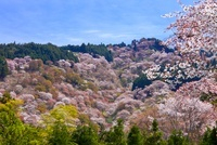 吉野山の上千本桜