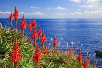 アロエの里のアロエの花と海