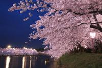 弘前公園と桜の夜景