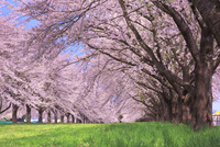 水沢競馬場の桜並木 01010022040| 写真素材・ストックフォト・画像・イラスト素材|アマナイメージズ