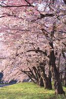 夕日を浴びる桧木内川の桜並木