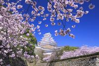 姫路城と桜 01010022996| 写真素材・ストックフォト・画像・イラスト素材|アマナイメージズ