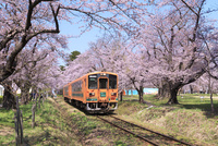 津軽鉄道と芦野公園の桜 01010024262| 写真素材・ストックフォト・画像・イラスト素材|アマナイメージズ