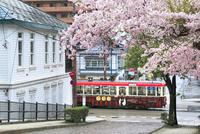 函館市電と桜