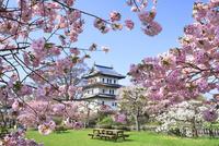 朝の松前城と桜