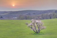 崎守町の一本桜 の夕暮れ 01010024622| 写真素材・ストックフォト・画像・イラスト素材|アマナイメージズ