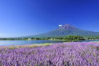 富士山とラベンダー 01010024969  写真素材・ストックフォト・画像・イラスト素材 アマナイメージズ