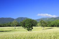 会津高原の蕎麦畑 01010026847| 写真素材・ストックフォト・画像・イラスト素材|アマナイメージズ