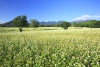 会津高原の蕎麦畑 01010026849| 写真素材・ストックフォト・画像・イラスト素材|アマナイメージズ