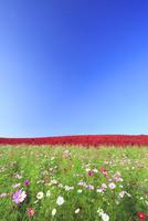 ひたち海浜公園のコキアとコスモス 01010026856  写真素材・ストックフォト・画像・イラスト素材 アマナイメージズ