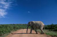 アッドエレファント国立公園のアフリカ象 南アフリカ