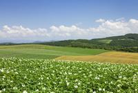ジャガイモの花咲くパッチワークの路 01072021715| 写真素材・ストックフォト・画像・イラスト素材|アマナイメージズ