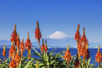 アロエの花と富士山 01072026693| 写真素材・ストックフォト・画像・イラスト素材|アマナイメージズ