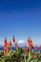アロエの花と富士山 01072026695| 写真素材・ストックフォト・画像・イラスト素材|アマナイメージズ