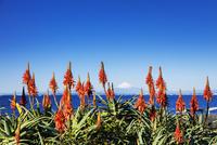 アロエの花と富士山 01072026794| 写真素材・ストックフォト・画像・イラスト素材|アマナイメージズ