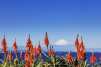 アロエの花と富士山 01072026795| 写真素材・ストックフォト・画像・イラスト素材|アマナイメージズ