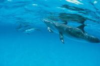 大西洋マダライルカ バハマ沖 01075008102| 写真素材・ストックフォト・画像・イラスト素材|アマナイメージズ