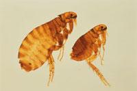 ノミの雄と雌の顕微鏡写真