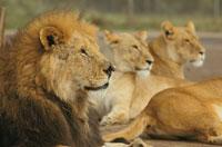 4頭のライオン