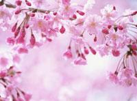 満開の紅枝垂れ桜 01141090190  写真素材・ストックフォト・画像・イラスト素材 アマナイメージズ