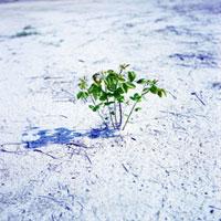 造成地に根付いた萩の木