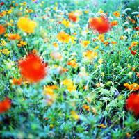 野辺を彩る黄花コスモス 01143045408| 写真素材・ストックフォト・画像・イラスト素材|アマナイメージズ