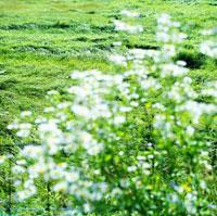 輝く草地と白い野草