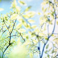 コブシの若葉