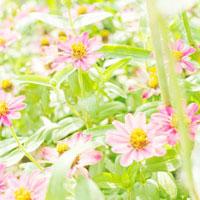 ジニアの花