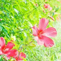 赤い芙蓉の花