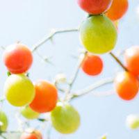 ミニトマト 01143045644| 写真素材・ストックフォト・画像・イラスト素材|アマナイメージズ