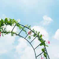 ヤハズカズラの花 01143045645| 写真素材・ストックフォト・画像・イラスト素材|アマナイメージズ