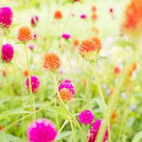 センニチコウの花 01143045646| 写真素材・ストックフォト・画像・イラスト素材|アマナイメージズ