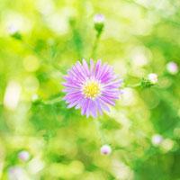 ミヤコワスレの花 01143045648  写真素材・ストックフォト・画像・イラスト素材 アマナイメージズ