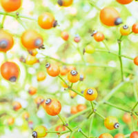 バラの実 ローズヒップ 01143045666| 写真素材・ストックフォト・画像・イラスト素材|アマナイメージズ