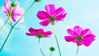 コスモスの花 01143045668| 写真素材・ストックフォト・画像・イラスト素材|アマナイメージズ