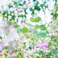 はぎの花 01143045697| 写真素材・ストックフォト・画像・イラスト素材|アマナイメージズ