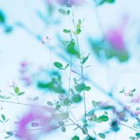 はぎの花 01143045699| 写真素材・ストックフォト・画像・イラスト素材|アマナイメージズ