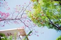 青空の下の赤い花と新緑と集合住宅