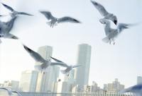 隅田川の都鳥 01143045973| 写真素材・ストックフォト・画像・イラスト素材|アマナイメージズ