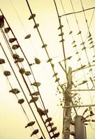 電線に群がるハト 01143045997| 写真素材・ストックフォト・画像・イラスト素材|アマナイメージズ